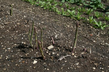 Did you know that asparagus is the fastest growing plant?