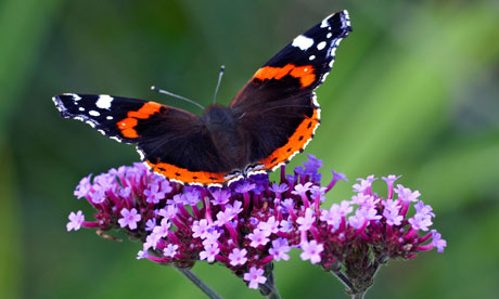 Red-Admiral-butterfly-on--005