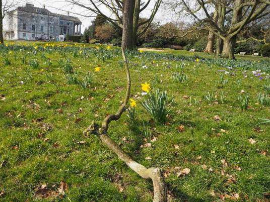 Ikebana branch with daffodils. Beckenham Place in the background