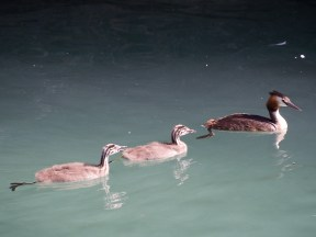 Grebe and dabchicks (Google says that's what they're called) in the moat at Sirmione castle