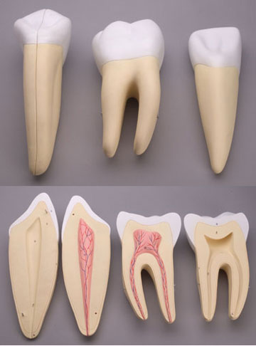 Dental models of the inner structure of teeth