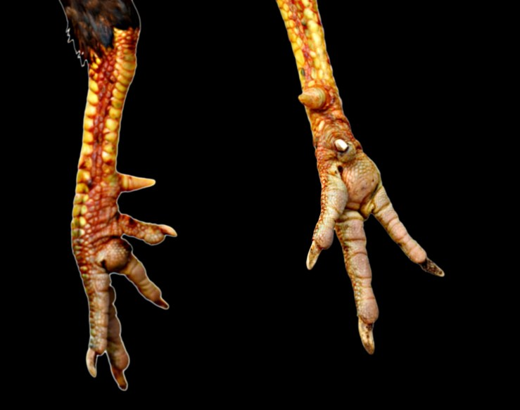 chicken feet and claws