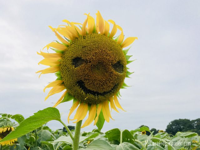 Kiyose Sunflower Festival