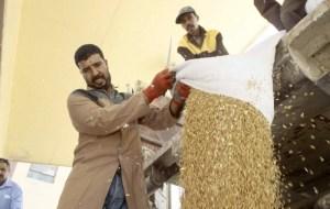 الجزائر تشهد تراجعا قياسيا في إنتاج الحبوب