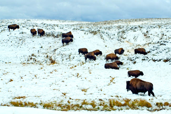 BISON HERD YELLOWSTONE WINTER-2