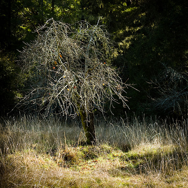 Boonville-apple-tree-02