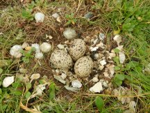 A clutch of gull eggs