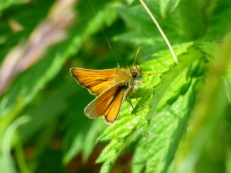 Male Small Skipper Butterfly