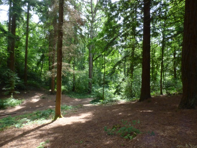 Conifers and an open glade
