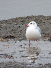 Black-headed Gull, hadn't seen any in months!