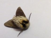 Muslin Moth (Diaphora mendica) playing dead