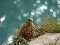 Female Kestrel on the cliffs