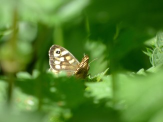 Speckled Wood butterfly, Pararge aegeria