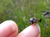 Ladybird sp - probably Harelquin (Harmonia axyridis)
