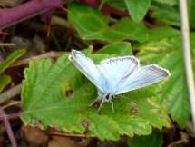 Chalkhill Blue butterfly (Polyommatus coridon), male