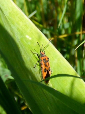 Corizus hyoscyami [NOT Firebug (Pyrrhocoris apterus). thanks Tony Davis for pointing that out]