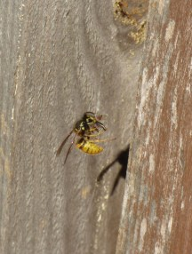 Wasp eating fly in spider's web