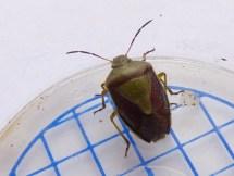 Unidentified shieldbug