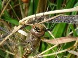Migrant Hawker dragonfly, female (Aeshna mixta)