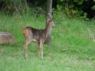 Roe Deer (Capreolus capreolus)