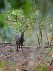 Sika Deer (Cervus nippon), male