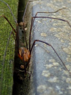 Cute (albeit unknown) harvestman