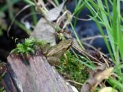 Common Frog (Rana temporaria)