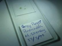 My Grey Pug slide! (Eupithecia subfuscata)