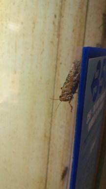 Locust attempting to hide
