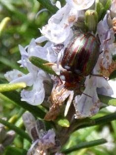 Rosemary Beetle (Chrysolina americana)