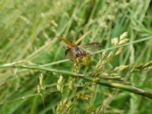 Soldier beetle (Cantharis sp.) taking flight