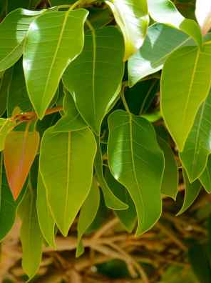 شجرة فيكس أمريكي