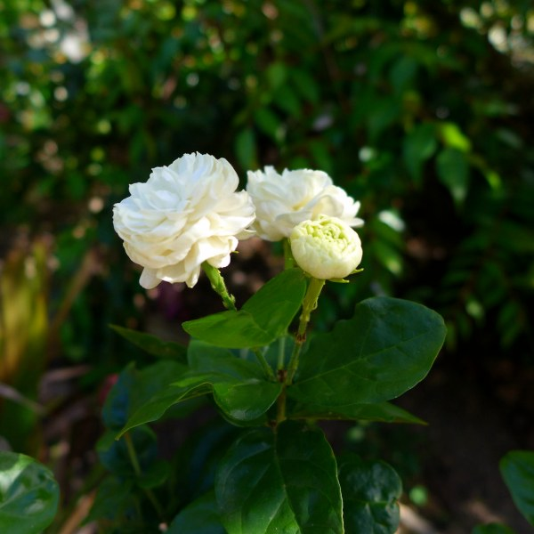 نبتة الفل المكبس