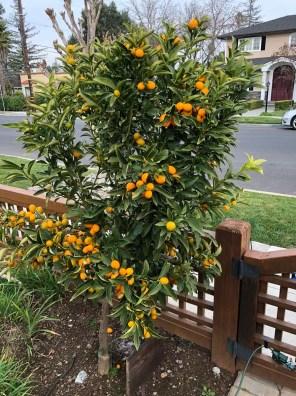 كيمكوات البرتقال