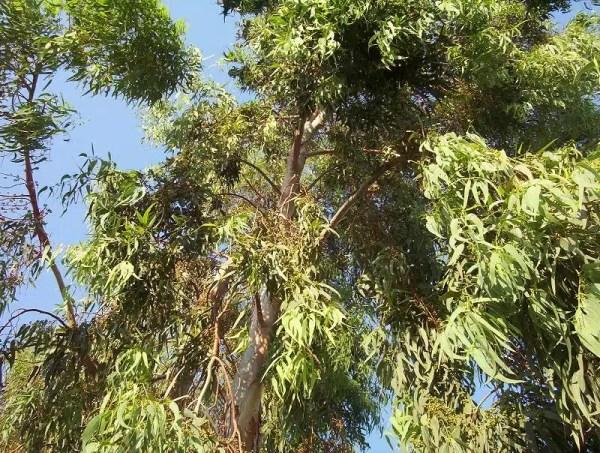 نبتة الكينا