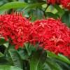 نبات اكسورا الحمراء