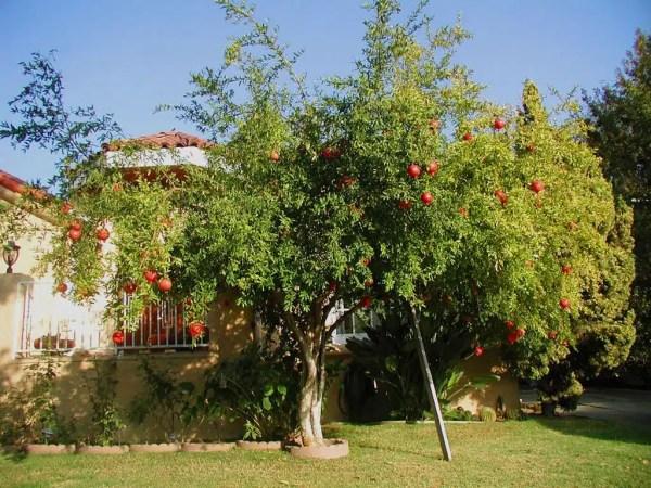 شجرة الرمان