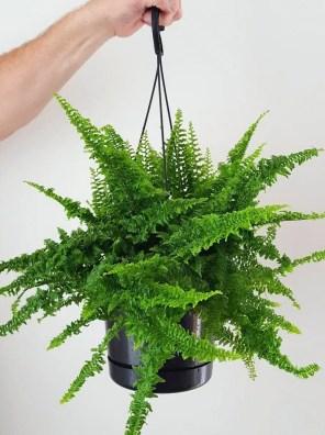 نبات السرخس السيفي