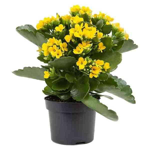 نبات الكلانشو