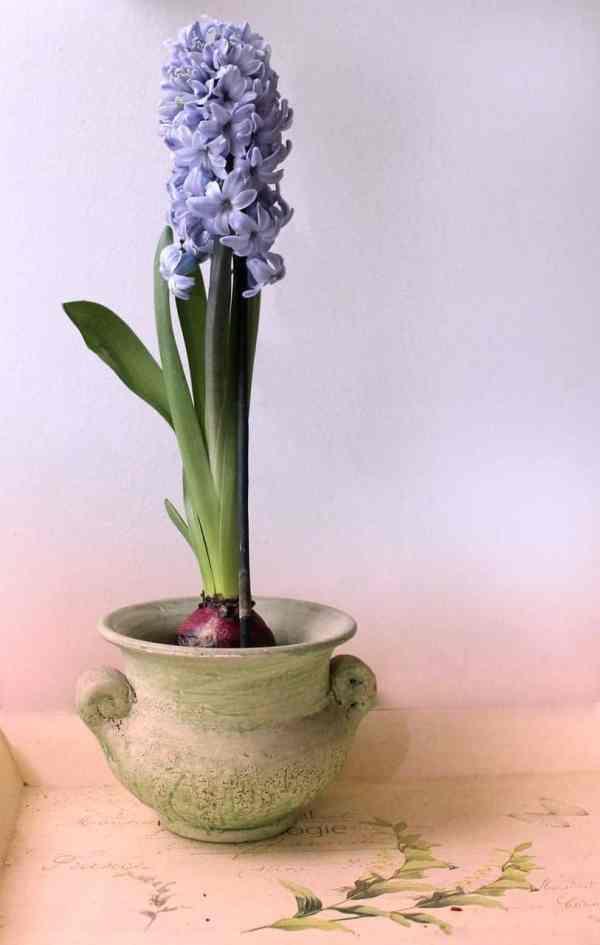 نبات الهياسنت