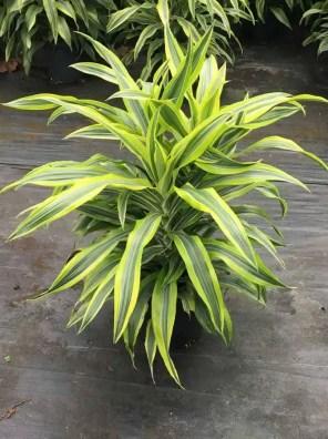 نبات دراسينا دريمنسيس ليمون
