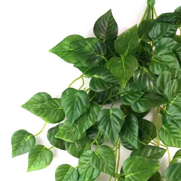 نبات سكندابسوس