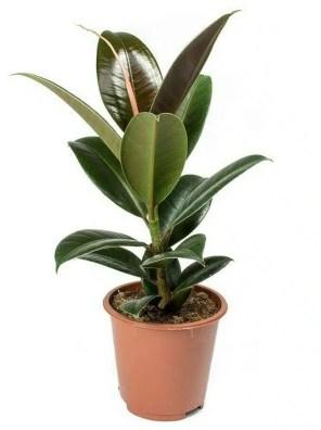 نبات فيكس روبيستا