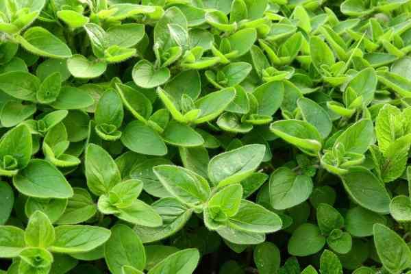 نبات البردقوش