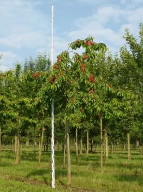 شجرة الكرز الاردني