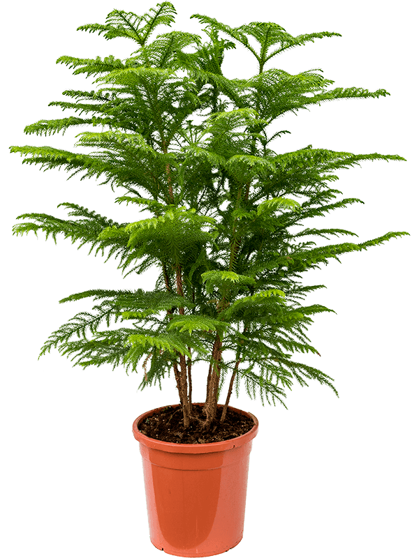 شجرة أروكاريا