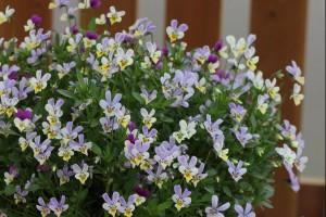 フルーレット2色咲き系