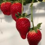 宮城県新品種いちご「にこにこベリー」赤く・甘い・ハイブリットいちご