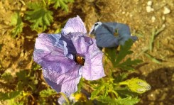 Blue Hibiscus ( related to mallows actually)