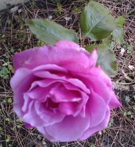 Antlay rose in garden